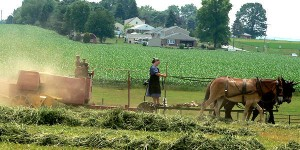 Amish Woman Farming with Team