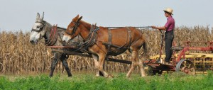 Amish farmer with two mule team