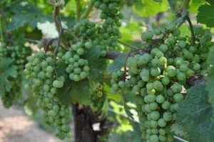 Grapes growing on the vine at a Lancaster PA winery